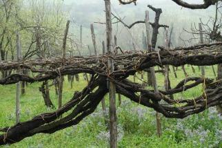 Vieux Vignoble Bue Apis